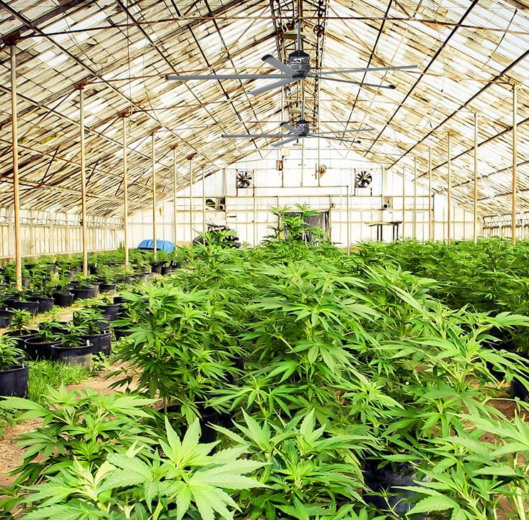 Weed farm green house